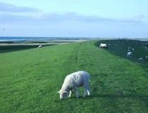 Moutons frôlant sur une digue Image libre de droits