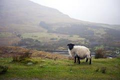 Moutons frôlant avec la vallée à l'arrière-plan Photo stock