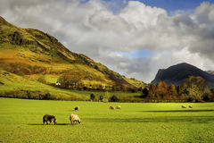 Moutons frôlant, campagne anglaise, secteur de lac