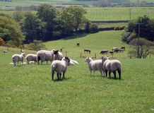 Moutons frôlant dans le domaine Photos libres de droits