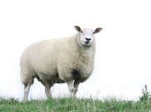 Moutons frôlant dans le domaine de l'herbe Photo stock