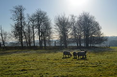 Moutons frôlant dans le domaine du Sussex Image libre de droits
