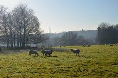 Moutons frôlant dans le domaine du Sussex Images libres de droits