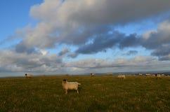 Moutons frôlant dans le domaine du Sussex Image stock
