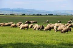 Moutons frôlant dans le domaine vert Photographie stock libre de droits