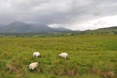 Moutons frôlant dans les montagnes Photographie stock