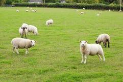 Moutons frôlant dans un domaine vert Photographie stock libre de droits