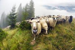 Moutons frôlant en brume Images stock