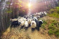 Moutons frôlant en brume Image libre de droits