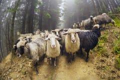 Moutons frôlant en brume Photographie stock libre de droits