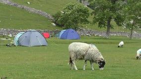 Moutons frôlant l'herbe dans le camping banque de vidéos