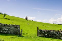 Moutons frôlant le beyong un mur de pierres sèches Photographie stock libre de droits