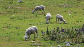 Moutons fr?lant - mouvement lent banque de vidéos