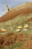 Moutons frôlant près du château Photos stock