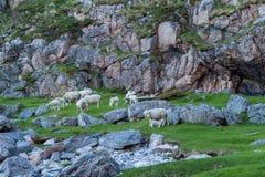 Moutons frôlant sous une montagne Photographie stock libre de droits