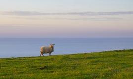 Moutons frôlant sur l'herbe verte au coucher du soleil Photographie stock libre de droits