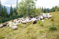 Moutons frôlant sur le pâturage de montagne Images libres de droits