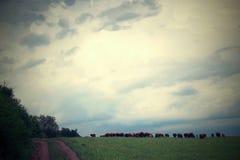 Moutons frôlant sur le pré Photos stock
