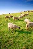 Moutons frôlant sur une côte Photo stock