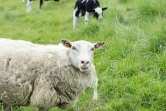 Moutons frôlant sur une digue néerlandaise pendant l'été Image stock