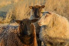 Moutons givrés Photographie stock libre de droits