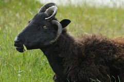 Moutons Hebridean Photo stock