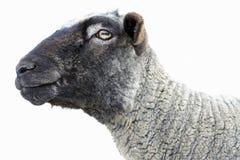 Moutons heureux de Romney. Image stock