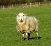 Moutons, hiver, ensoleillé, boueux Images libres de droits
