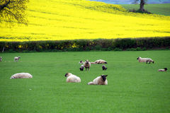 moutons irlandais Photo libre de droits