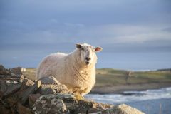 Moutons irlandais photo libre de droits