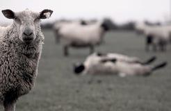 Moutons Irlande Photos libres de droits