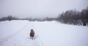 Moutons islandais fonctionnant dans la neige vers une forêt images stock