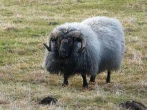 Moutons islandais types Image stock