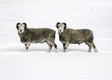 Moutons jumeaux Photographie stock