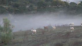 moutons 4K dans Dehesa avec le brouillard à passer par les chênes de l'Espagne clips vidéos