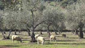 moutons 4K dans les pâturages avec les oliviers d'Estrémadure, Espagne clips vidéos