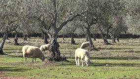 moutons 4K dans les pâturages avec les oliviers d'Estrémadure, Espagne banque de vidéos
