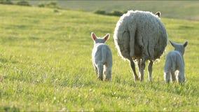 moutons 4K et petits agneaux frôlant dans la campagne banque de vidéos