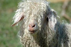 Moutons laineux Image stock