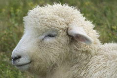 Moutons laineux Images stock