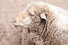 Moutons laineux dans le zoo images stock