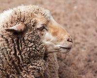 Moutons laineux dans le zoo image libre de droits