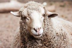 Moutons laineux dans le zoo image stock