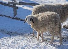 Moutons laineux dans un stylo, saison d'hiver Image stock
