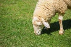 Moutons laineux frôlant sur l'herbe Photos stock