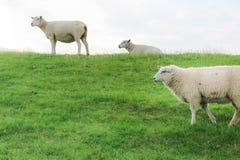 Moutons laineux sur une digue verte photographie stock