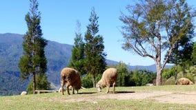 Moutons mâchant l'herbe sur un pré clips vidéos