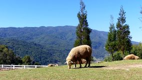 Moutons mâchant l'herbe sur un pré banque de vidéos