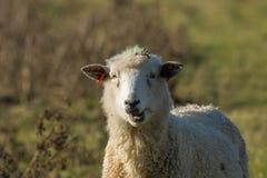 Moutons mâchant le ruminage photographie stock libre de droits