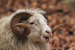 Moutons mâles Image libre de droits